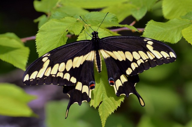 nature s balm montreal botanical gardens butterfly exhibit (5) andré sarrazin